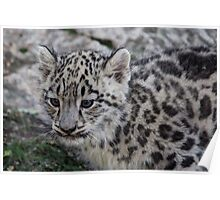 Baby Snow Leopard Poster