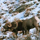 BIGHORN RAMS by Chuck Wickham