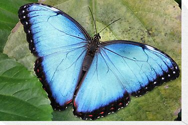 Blue Blue Morpho So Blue by Jo Nijenhuis