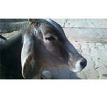 RELAXED BULL ON THE SPIRITUAL HIGHWAY. Photographic Print