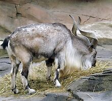 Adult Markhor Mountain Goat by RaberFineDesign