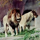 Lion Mates-223 views, 6 comments (Resubmitt) by dragonsnare