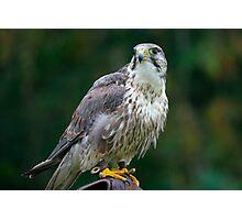 Saker Falcon Photographic Print