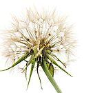 Dandelion Fluff by JEZ22