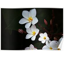 Plumeria amd Bugs Poster