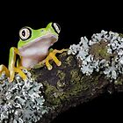 Lemur leaf frog by Angi Wallace