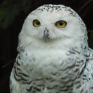 Snowy Owl female by annkelliott