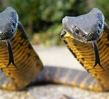 Tiger Meyhem Tasmanian Tiger snakes by Thow's Photography