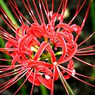 red spider lily by Sheila McCrea