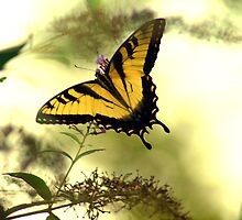 Tiger Swallowtail II by JohnGo