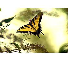 Tiger Swallowtail II Photographic Print