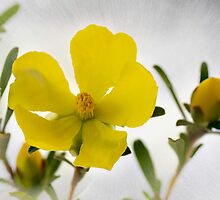 Guinea Flower - Hibbertia riparia by pcbermagui