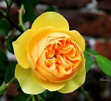Yellow Rose ~ Symbol of Friendship by SummerJade