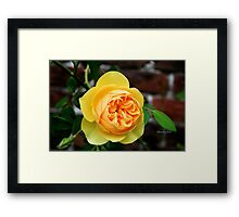 Yellow Rose ~ Symbol of Friendship Framed Print
