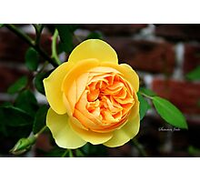 Yellow Rose ~ Symbol of Friendship Photographic Print