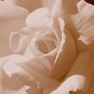 White Rose by Stacy Colean