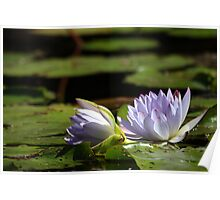 Waterlilly 3 Poster