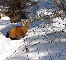 """Pine Marten  aka,Sable, """"You Can't See Me"""" by MaeBelle"""