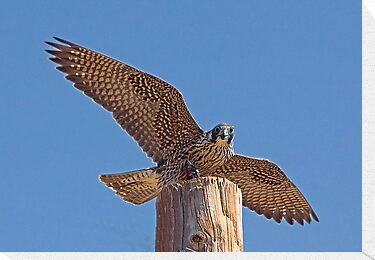 Peregrine Falcon by Marvin Collins