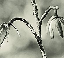 Tulip Poplar Empty Seed Heads - Black and White by MotherNature2
