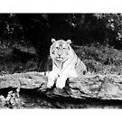 Tigar by Celinda