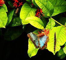 Blue Morpho - Open and Closed by Wabacreek Photography