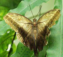Golden Butterfly by Gotcha  Photography