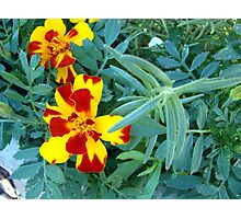 Variegated Marigolds Photographic Print