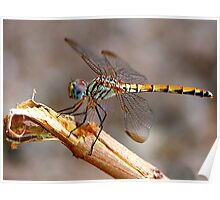 Dragon Fly - Colour Poster
