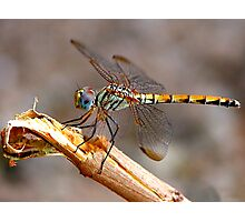 Dragon Fly - Colour Photographic Print