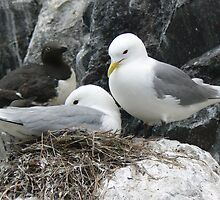 Kittiwakes on the Nest  by David Bass