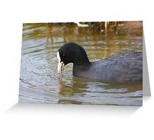 Coot........... Greeting Card