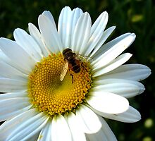 Bee on Daisy by spencerphotos