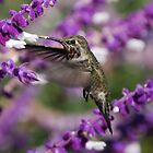 Hummingbird Monterey by pinkT