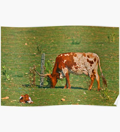 Longhorn Cow and Calf  Poster