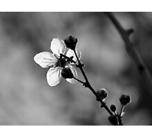 Blossom in Black & White Photographic Print