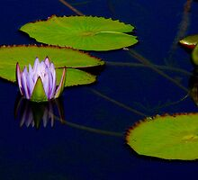 Reflected Water Lily Bud by Rosalie Scanlon