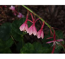Gaura Photographic Print
