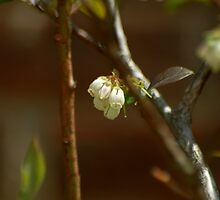 Cream Blooms by Amanda Jordan