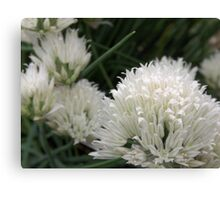 Wild White Chives 2 Canvas Print