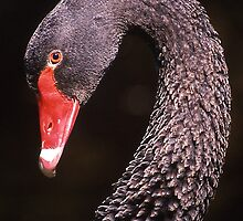 Male black swan in portrait by Peter  Tonelli