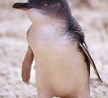 Australian Fairy Penguin by Peter  Tonelli