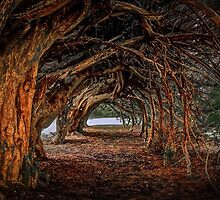 1000 year old yew tree at Aberglasney gardens by leightoncollins
