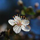 Sakura - ? by salsbells69