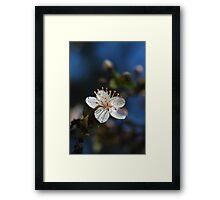 Sakura - 桜 Framed Print