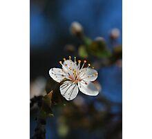 Sakura - 桜 Photographic Print