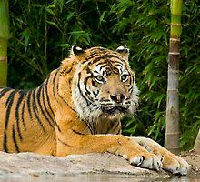 Tiger by Biggzie