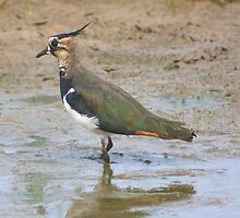 Lapwing........ by jdmphotography