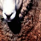 Ewe by Tamara  Kenneally