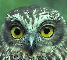 Portrait of a Southern Boobook owl by Peter  Tonelli